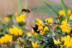 zzzzz? zzzzz! (_Quasar_) Tags: primavera volo giallo fiori colori salento api insetti polline areyouready nginationalgeographicbyitalianpeople circolomicromosso theauthorsplaza