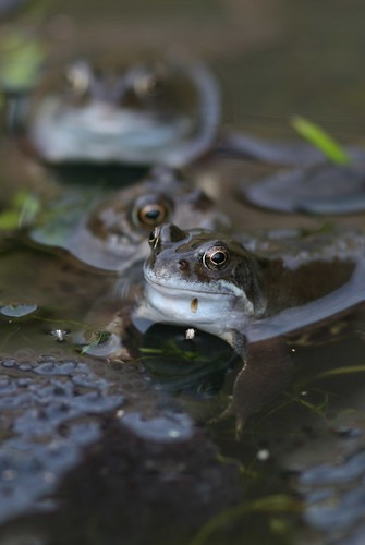 Common Frogs frolicking