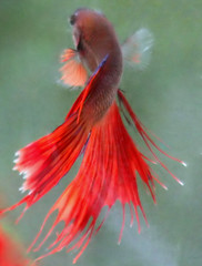 love red,, Betta splendens (Thai pix Wildlife photography,,) Tags: fish home animals thailand betta kanchanaburi nongbua earthasia worldtrekker totallythailand