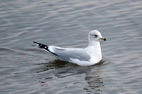 Ring-billed gull (Larus delawarensis)-18.jpg