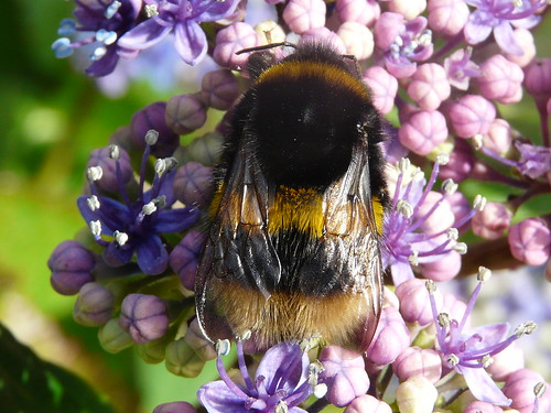 Buff-tailed Bumble-bee (Bombus Terrestris) by Peter Orchard