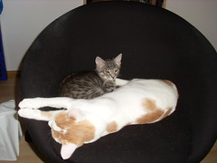 Fred + Cleese 2009 3 (Schmasipopasi) Tags: sleeping cats brown white cute cat grey chair european sweet sleep stripes grau shorthair katze braun dots schlafen 2009 kater stuhl streifen cleese flecken kurzhaar weis punkte esh ss ekh europisch