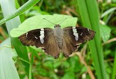 Spathilepia clonius (Hesperiidae: Pyrginae) (yakovlev.alexey) Tags: venezuela riocaura pyrginae
