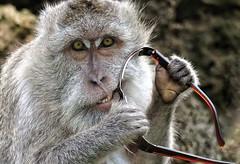 Monkey eats my Sunglasses (Clearvisions) Tags: travel bali detail look animal closeup hair indonesia eyes hands gallery teeth arts eat andromeda elite bite uluwatu grip portrate visionary honors expersion monkeybalisunglassessteal 50awards