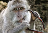 Monkey eats my Sunglasses (Clearvisions) Tags: travel bali detail look animal closeup hair indonesia eyes hands gallery teeth arts eat andromeda elite bite uluwatu grip portrate visionary honors expersion monkeybalisunglassessteal 50awards