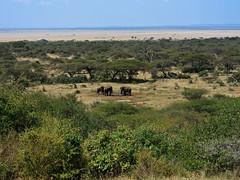 "Elephants at the ""Log Jam"" watering hole, Ol Donyo Wuas (Ken Zaremba) Tags: accomodations africa africanbushelephant bushelephant chyuluhillsnationalpark elephant geography greatplainsconservation international kenya loxodontaafricanaafricana mbirikanimaasaigroupranch oldonyowaus oldonyowuas safarilodge animal lodging mammals travel ungulates"