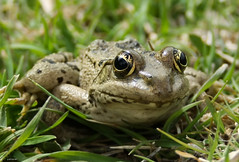Frog beautiful eyes |    (P A H L A V A N) Tags: beautiful eyes frog