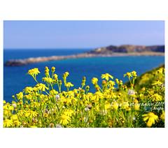 Yellow flowers  (LingHK) Tags: flowers yellow australia nsw coffsharbour muttenbirdisland