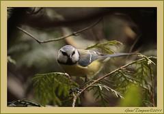 30mrt11  pimpelmees in de tuin, druk op zoek naar nestgelegenheid. (guus timpers) Tags: tuin thuis pimpelmees mees vogel