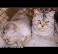 Cats :s (Sara Al-Ateeq) Tags: cats cat 50mm sara 2011 canon500d    alateeq