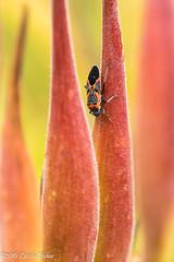 Resting bug (laszlofromhalifax) Tags: milkweed seedpods bug insect macro closeup frontyard halifax novascotia canada froghopper cercopoidea hemipteran