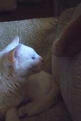 Charlie spots Otis's tail. (rootcrop54) Tags: charlie allwhite white male cat otisorangetabby macska kedi  koka kissa  kttur kucing gatto  kais kat katt katzen kot  maka maek kitteh chat