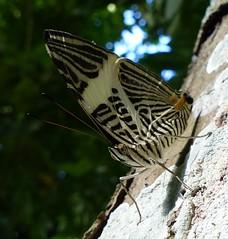 Colobura dirce (Helio Lourencini) Tags: coloburadirce butterfly animal aoarlivre macro inseto borboleta coresvivas worldbest explore flor planta paudalho pernambuco wild wildlife selvagem forest floresta mataatlantica
