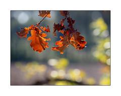 La danse de l'automne (eric_47) Tags: nature feuille automne t jaune orange couleur bokeh leaf autumn yellow summer color arbre tree