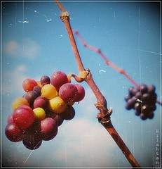 The harvest of my childhood (nathaliedunaigre) Tags: raisins fruits nature harvest multicolores carr texture automn saison automne vendanges colors couleurs