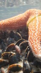 seren fôr , starfish, Asterias rubens (Gwylan) Tags: seren for starfish asterias rubens asteriasrubens