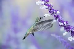 Anna's in the Shade (Patricia Ware) Tags: 14000sec annashummingbird birdsinflight california calypteanna canon ef400mmf56lusm fullframe iso12800 mexicanbushsage salvialeucantha f56 httppwarezenfoliocom 2016patriciawareallrightsreserved rollinghillsestates unitedstates us specanimal