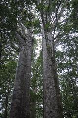 Waipuoa Forest Kauri Trees