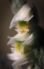 SDIM1266-sd1- Orchidee selvatiche, Spiranthes spiralis. (ciro.pane) Tags: sigma sd1 merrill foveon orchidee selvatiche piccolo fiore spiranthes spiralis promontorio punta campanella italia italy italien italie hexanon 135mm f32