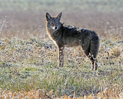 Are you following me? (Team Hymas) Tags: coyote washington wildlife refuge ridgefield shirleen teamhymas
