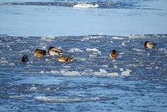 Duck nap (Jaedde & Sis) Tags: winter sleeping ice nap ducks six 15challengeswinner friendlychallengewinner pregamewinner