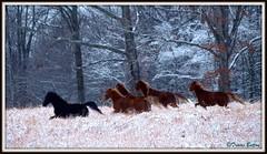 Untamed Beauty (TnOlyShooter) Tags: horse nature beauty tennessee olympus zuiko picnik wildhorses winterbeauty untamed zd williamsoncounty e520 40150f3545 travisbatton tnolyshooter