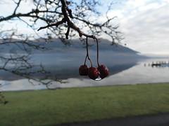 Red winter berry loch lomond side 1 (Michael Grey!) Tags: benlomond lochlomond lakescene scottishwinter michaelgrey mistonlake scotlandinwinter dunaber scotlandinjanuary