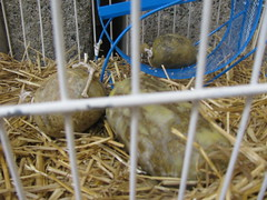 2011_January_26_Haggis_Floata 001
