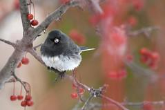 Festive Junco (violetflm) Tags: winter bird interestingness native junco best explore cbg darkeyedjunco d300s d3s0392