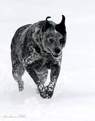 Pita, the Wonder Dog (misst.shs) Tags: dog pet snow nikon canine hss hcs d90 clichesaturday slidersunday