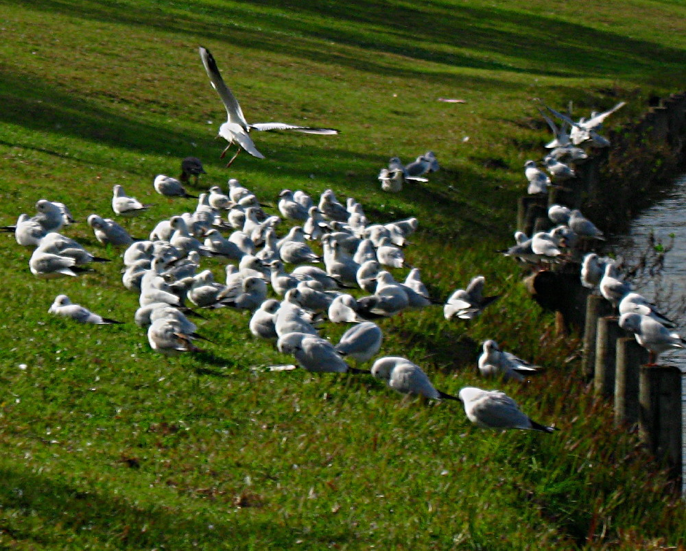 29-01-2011-gulls5