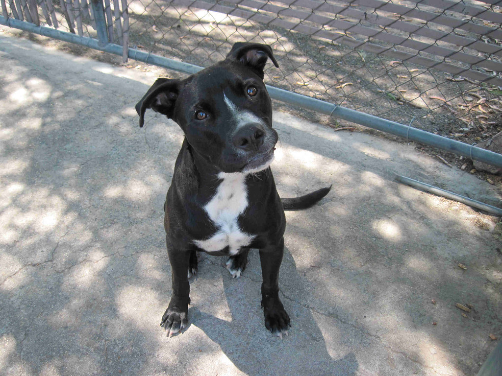 Dogs people owners pit bull boxer mix