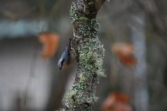 IMG_7667 (Natural Kingdom) Tags: sittaeuropaea eurasiannuthatch 茶腹鳲 鳲科