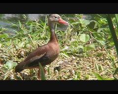 Dendrocygna autumnalis (Black-bellied Whistling-Duck) (Arthur Chapman) Tags: birds video costarica aves dendrocygna blackbelliedwhistlingduck autumnalis dendrocygnaautumnalis santodomingodeheredia taxonomy:class=aves taxonomy:kingdom=animalia taxonomy:phylum=chordata taxonomy:family=anatidae taxonomy:common=blackbelliedwhistlingduck taxonomy:binomial=dendrocygnaautumnalis taxonomy:genus=dendrocygna geocode:accuracy=200meters geocode:method=googleearth geo:country=costarica geo:region=centralamerica taxonomy:order=aneriformes