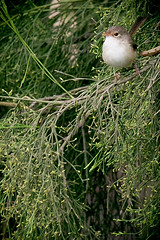 female fairy wren (Joel_85) Tags: bird australia kingfisher