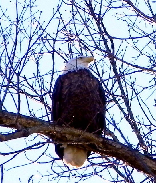 01-29-2011_Eagle in Stella Missouri