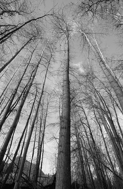 towering-trees