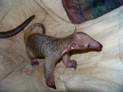 Baby tamandua 12 days old