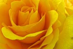 Mellow Yellow (CarlBSr) Tags: flowers macro lumix zs7