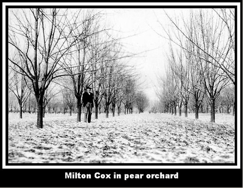 Milton Cox in pear orchard