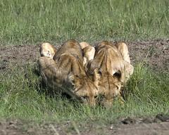 Lion 035 (joannehedger) Tags: africa kenya masaimara pantheraleo kicheche marshpride joannehedger httpjoannehedgerblogspotcouk