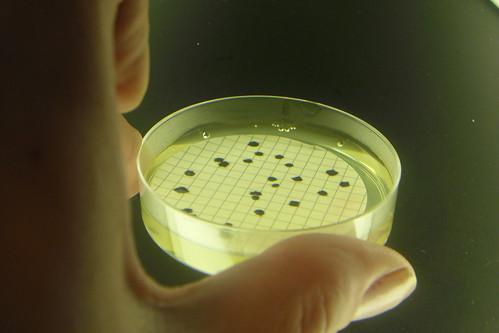 Clostridium perfringens in TSC agar (Uka wonderland) Tags: water micro microbiology petri tsc microbiologia clostridium perfringens cperfringens
