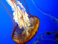Jellyfish (@ Vancouver Aquarium) (FaruSantos) Tags: water água azul vancouver jellyfish laranja vermelho vancouveraquarium harukimurakami águaviva