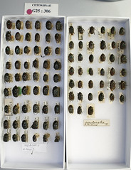 Euphoria Collection 005 (NHM Beetles and Bugs) Tags: insect beetle coleoptera cetoniinae