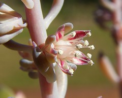 Thompsonella mixtecana