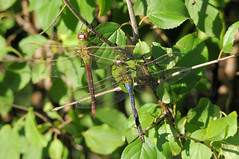Common Green Darner (Anax junius) 15 (DrLensCap) Tags: park chicago green robert nature insect fly illinois village dragon dragonfly north center il common kramer darner anax junius