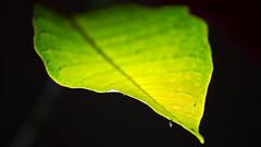 Leaf - IMG_0438