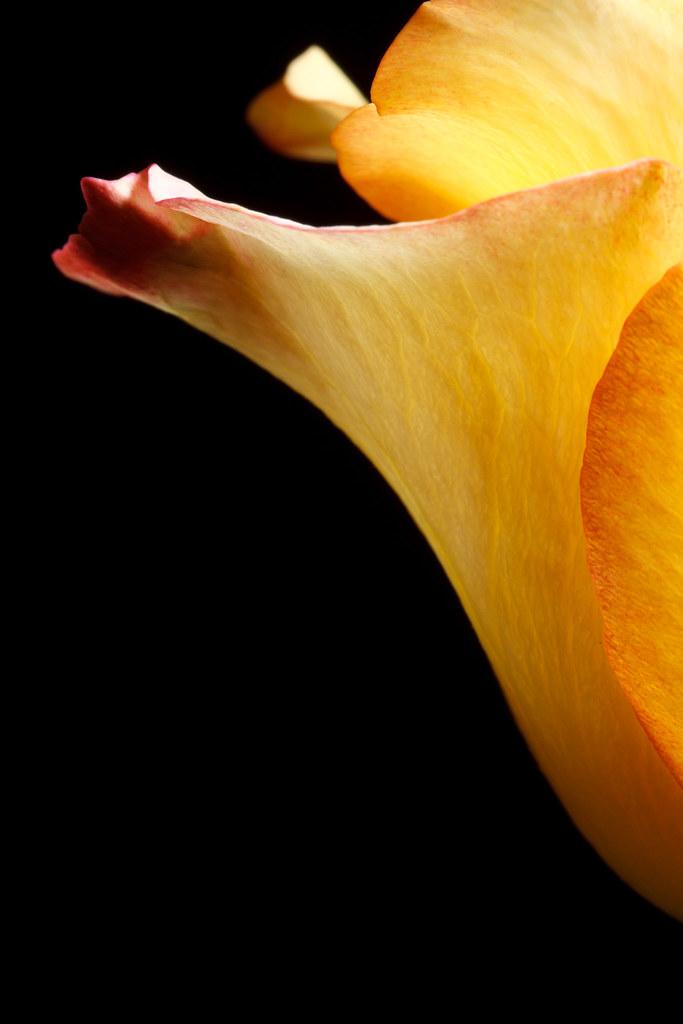 Yellow Rose #2