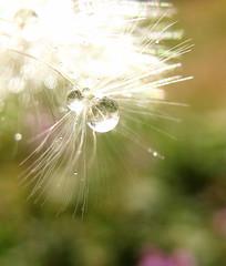 things are beginning to get a little greener... (Kaos2) Tags: macro weed waterdrop dandelion thursday kaos2