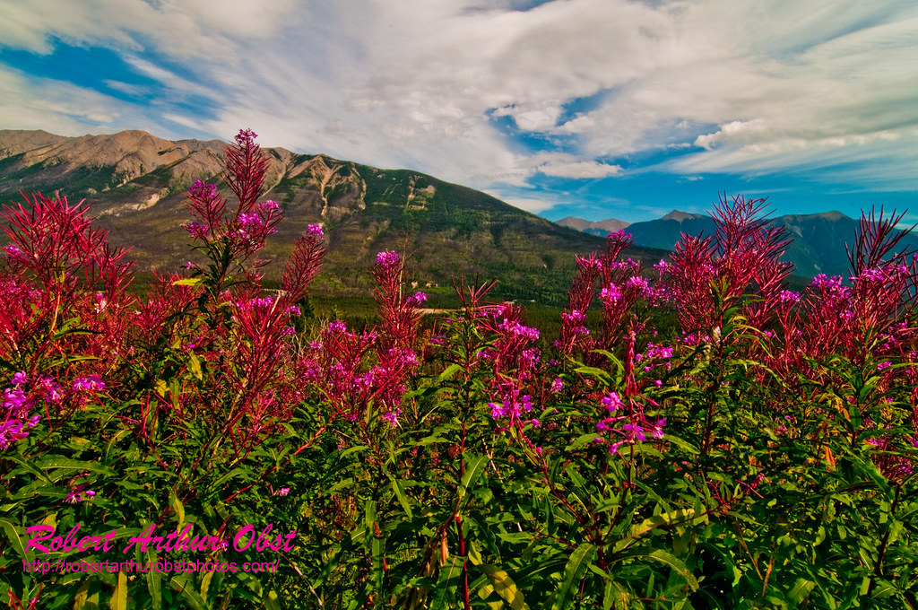 Wildflowers Fireweed also known as Great Willow-herb or Epilobium angustifolium frame beautiful Kootenay Vally and the Mitchell Mountains within Kootenay National Park (CAN BC Radium Hot Springs)